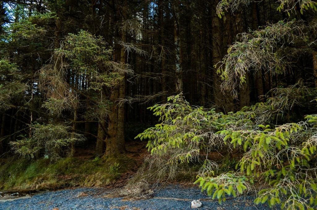 Llyn Cewllyn, forest