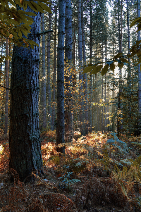 Sandringham Forest in the Autumn